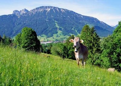 Kuh-Landschaft